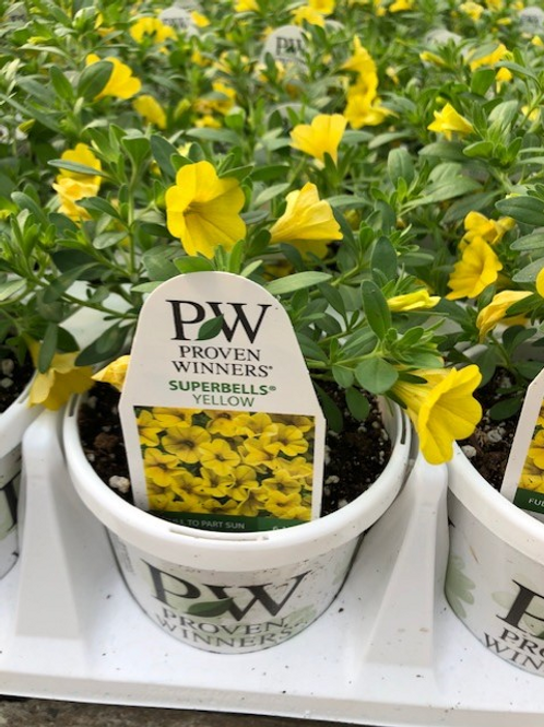 "PW Calibrachoa Superbells Yellow 4.25"" Pot"