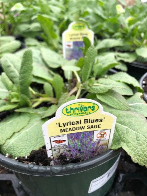 Salvia Sage 1 gallon pot