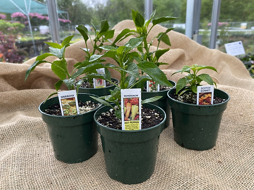 """Hot Pepper Plant 4.25""""Pot"""