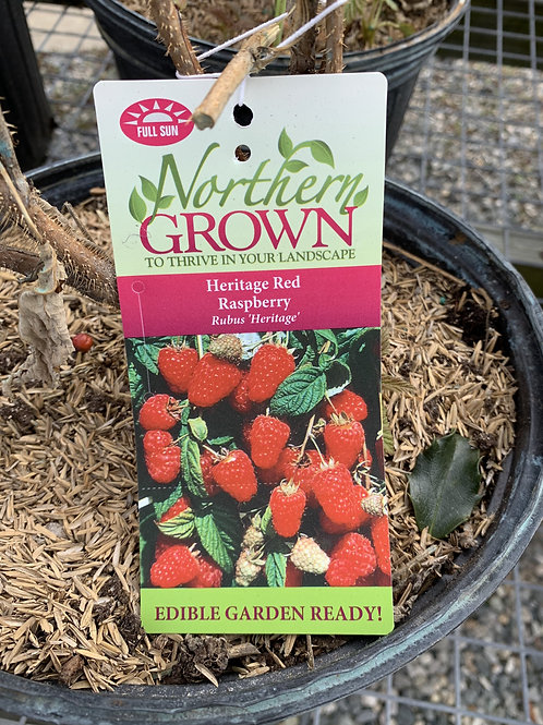 Raspberry 'Heritage Red'  2gallon pot