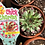 Thumbnail: Chick Charms - Collectible Hens & Chicks