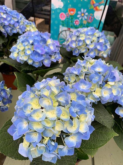 Florist Hydrangea