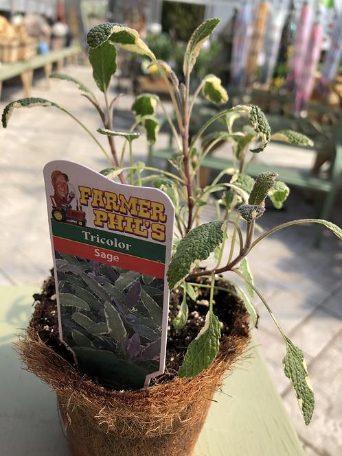 """Tricolor Sage 4"""" pot"""