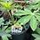 Thumbnail: Lupinus Lupine 1 Gallon Pot