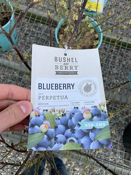 Blueberry 'Perpetua' 2gallon pot