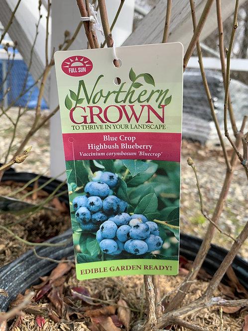 Blueberry 'Blue Crop'  3gallon pot