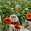 "Thumbnail: PW Calibrachoa Superbells Orange 4.25"" Pot"
