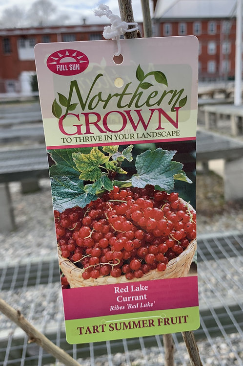 Currant 'Red Lake'  3gallon pot