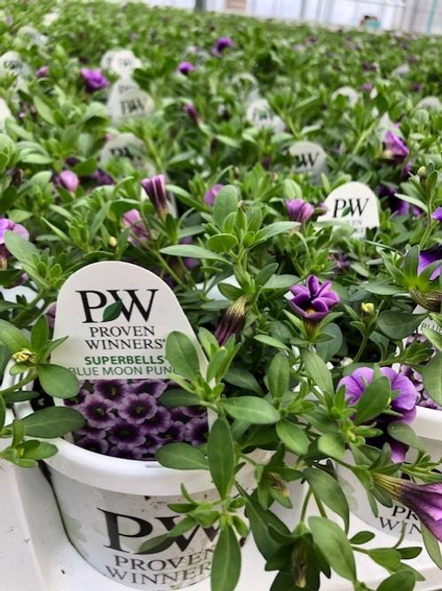 """PW Calibrachoa Superbells Purples 4.25"""" Pot"""