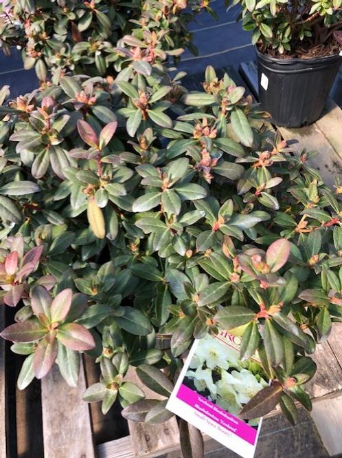 Rhododendron 'Towhead'  2gallon pot
