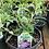 Thumbnail: Buddleia Butterfly Bush 1 Gallon Pot