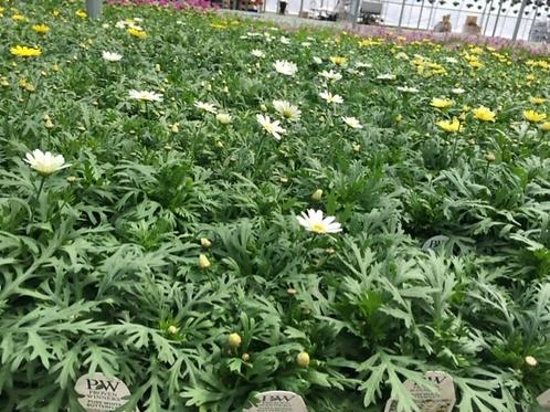 "PW Argyranthemum Butterfly 4.25"" Pot"