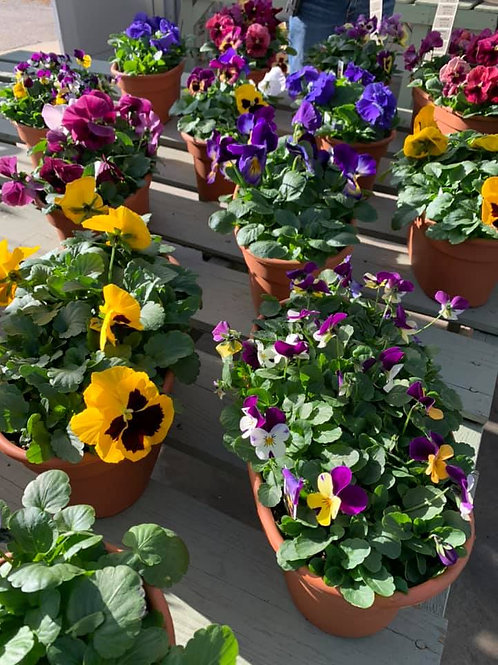 """Pansy Oval 12"""""""
