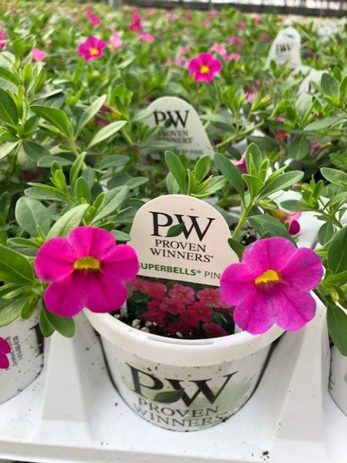 """PW Calibrachoa Superbells Pink 4.25"""" Pot"""