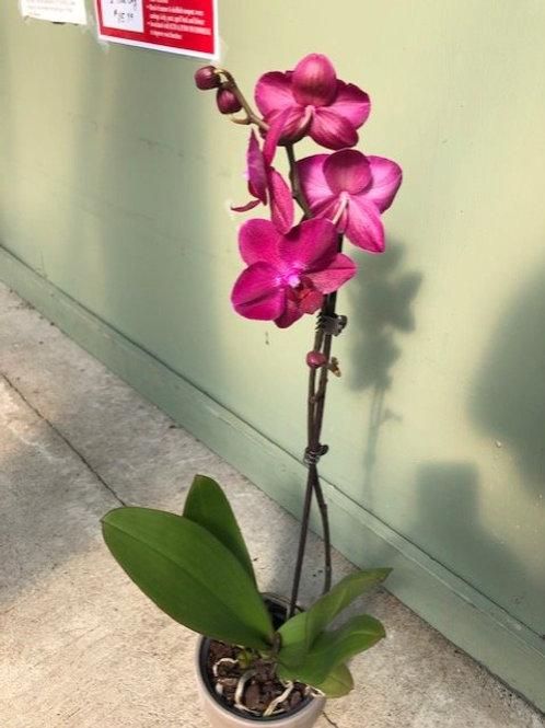 """Premium Phalaenopsis Orchid 5"""""""
