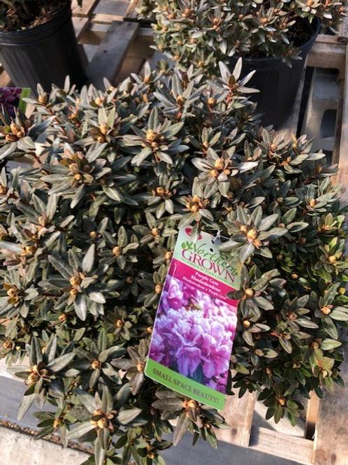 Rhododendron 'Purple Gem'  2gallon pot