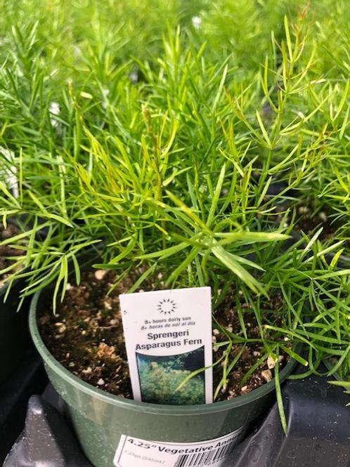 """Asparagus Fern 4.25"""" Hart's Pot"""