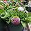 Thumbnail: Bellis English Daisy 1 Gallon Pot