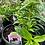 Thumbnail: Dianthus Sweet William 1 gallon pot