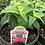Thumbnail: Monarda Bee Balm 1 Gallon Pot