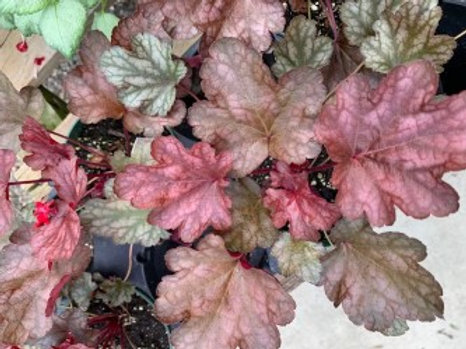 "Fall Heuchera 4"" Pot"