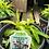 Thumbnail: Lobelia Cardinal Flower 1 Gallon Pot