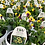"Thumbnail: PW Torenia Catalina 4.25"" Pot"