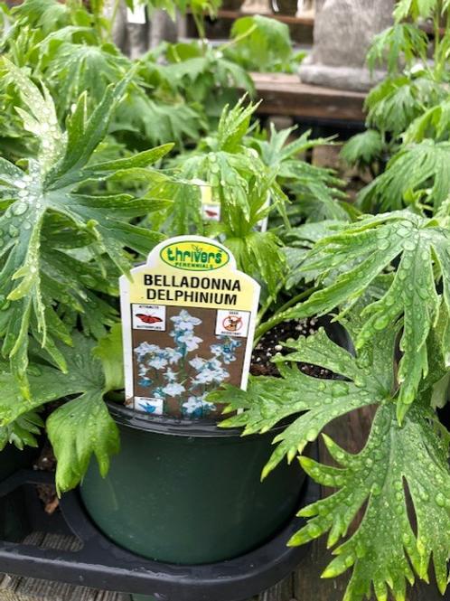 Delphinium 1 gallon pot