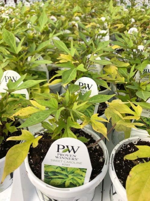 "PW Ipomea Sweet Potato Vine 4.25"" Pot"