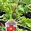 Thumbnail: Papaver Iceland Poppy 1 Gallon Pot