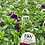 "Thumbnail: PW Calibrachoa Superbells Purples 4.25"" Pot"