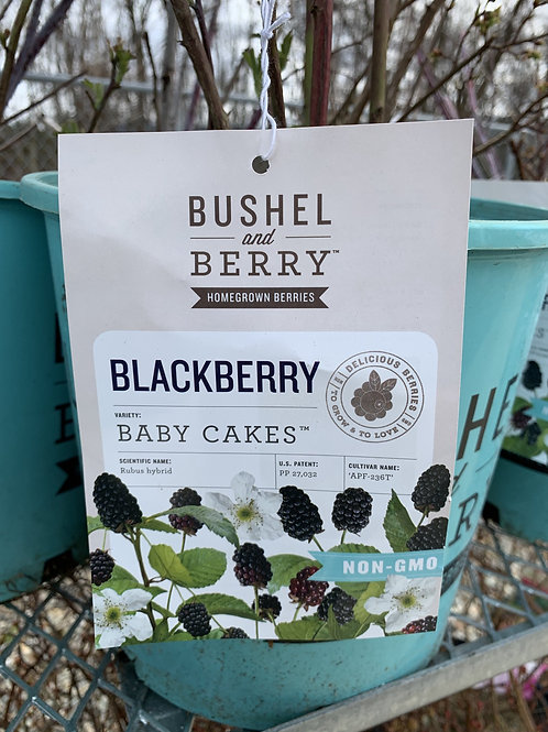 Blackberry 'Baby Cakes'  2gallon pot