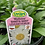 Thumbnail: Leucanthemum Shasta Daisy 1 Gallon Pot