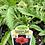 Thumbnail: Papaver Oriental Poppy 1 Gallon Pot