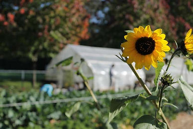 Loutet Farm, North Vancouver, Sunflower