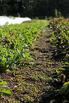 Loutet Farm, North Vancouver, lettuce, rows