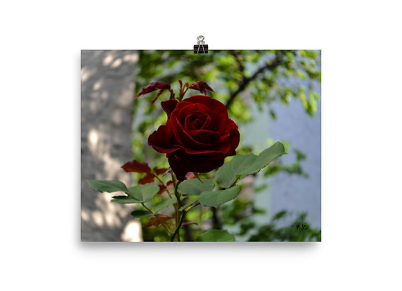 I Dream of Roses -Photo paper poster