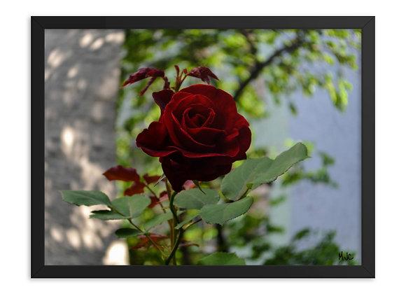 I Dream of Roses- Framed poster