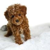1 Goldendoodle Breeder In Usa Murphys Doodles