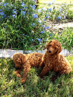Gorgeous Maddie and Jen-Jen as pups