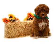goldendoodle breeders tampa, goldendoodle breeders naples, goldendoodle, labradoodle, poodle, frenchie, french bulldog