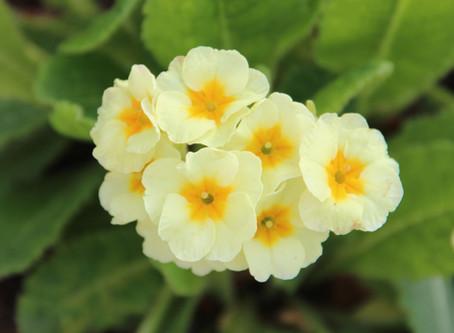 Plant Profile: Primula