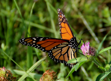 Monarchs of the Meadow