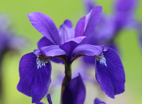 Plant Profile:  Iris