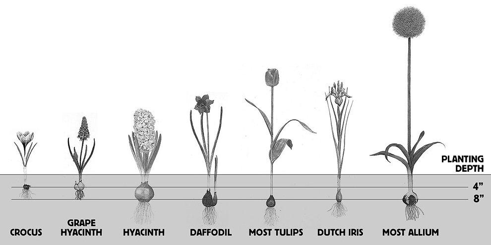 bulb depth.jpg