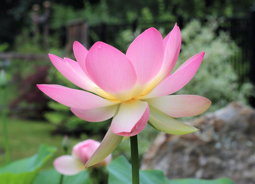 Luscious Lotus
