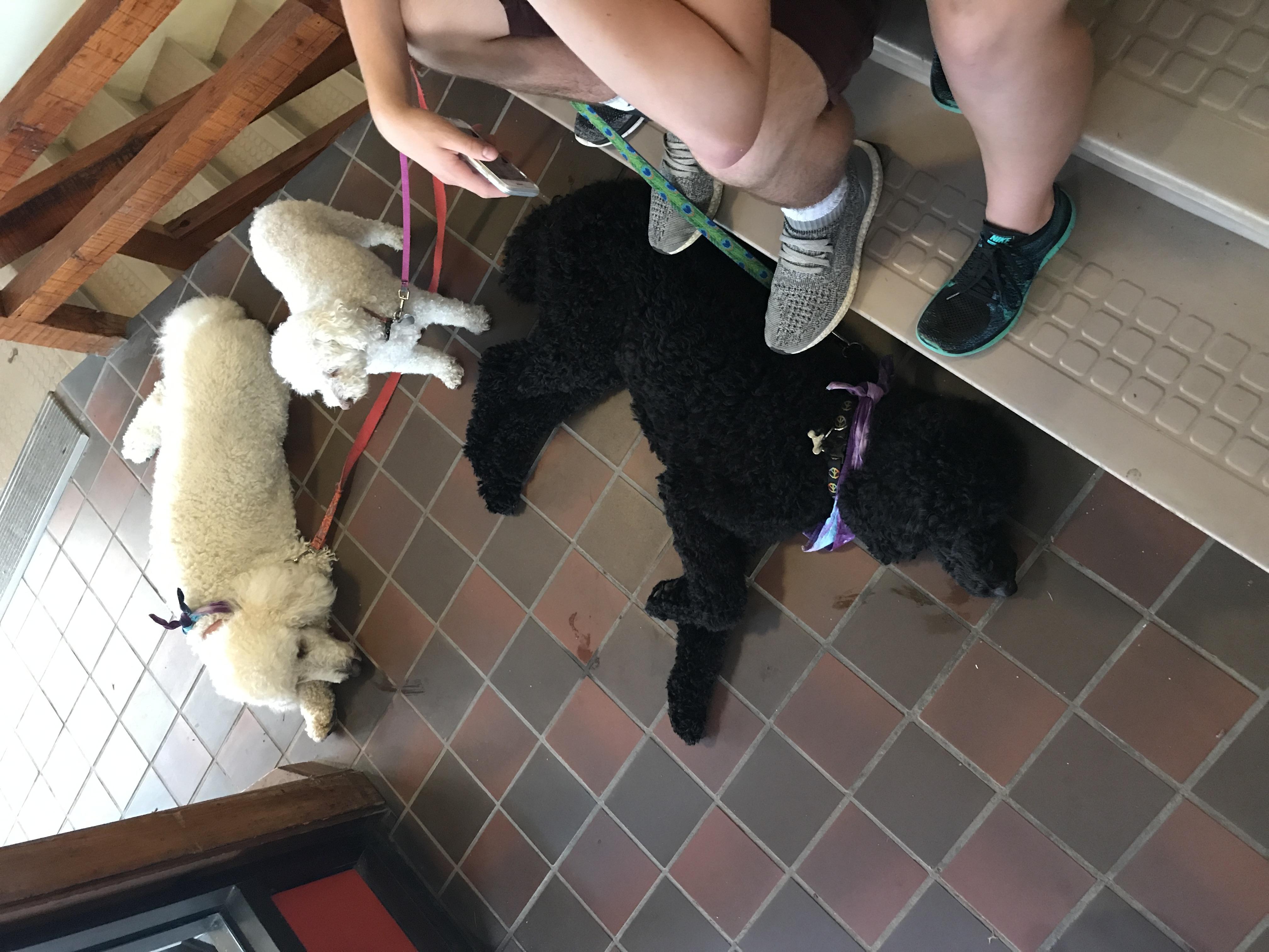 Desjardin's Poodles