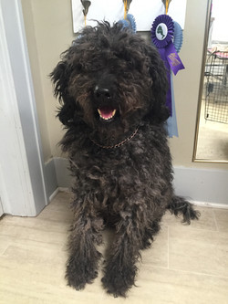 Before (Goldendoodle)