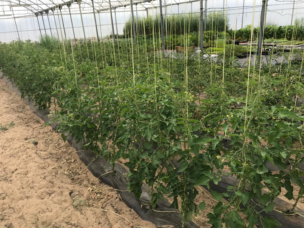 Tomates estufa bio