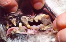 Dental Disease in our Pets